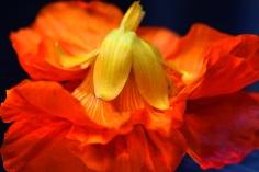 Primadonna des Fleurs © Liz Collet
