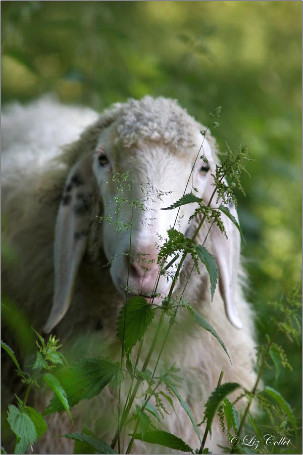Brennessel vor oder im Schaf ? © Liz Collet