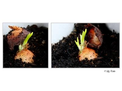 Zwiebelschlüpfen  © Liz Collet
