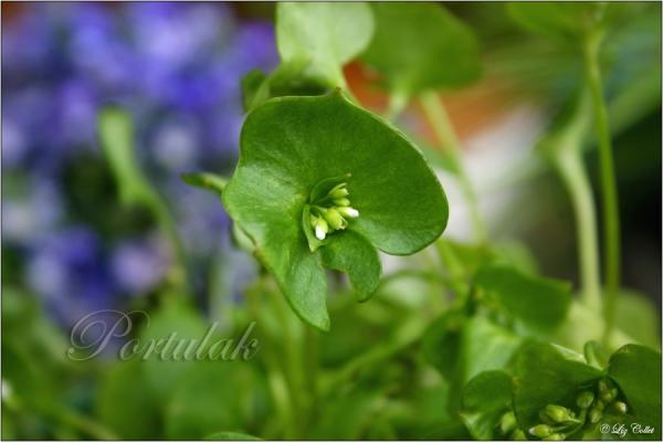 Portulak © Liz Collet, Kräuter, Gartenkräuter, Wildkräuter, Blüten, essbare Kräuter,