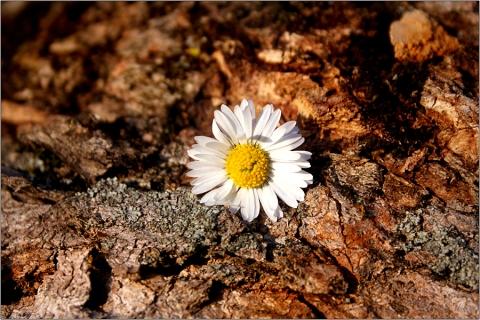 Gänseblümchen © Liz Collet