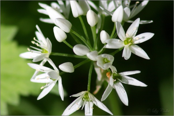 Wild Garlic Blossom  © Liz Collet