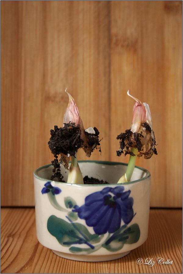 Frisch schlüpfendes Knoblauchgrün © Liz Collet