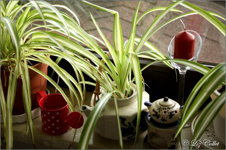 © Liz Collet, Grünlilie,DIY, Fotografie, Handel, haushalt, Konservendose, kräuter, linkedin, Liz Collet, Liz Collet Photography, Sekundärverwendung, Teekanne, upcycling, Wie man Grünlilien vermehrt, Wie man Grünlilien züchtet, Zweitverwertung von Geschirr, Zweitverwertung von Teekannen. Pflanze,
