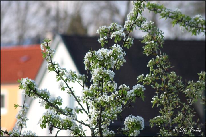Birnbaumblüte © Liz Collet